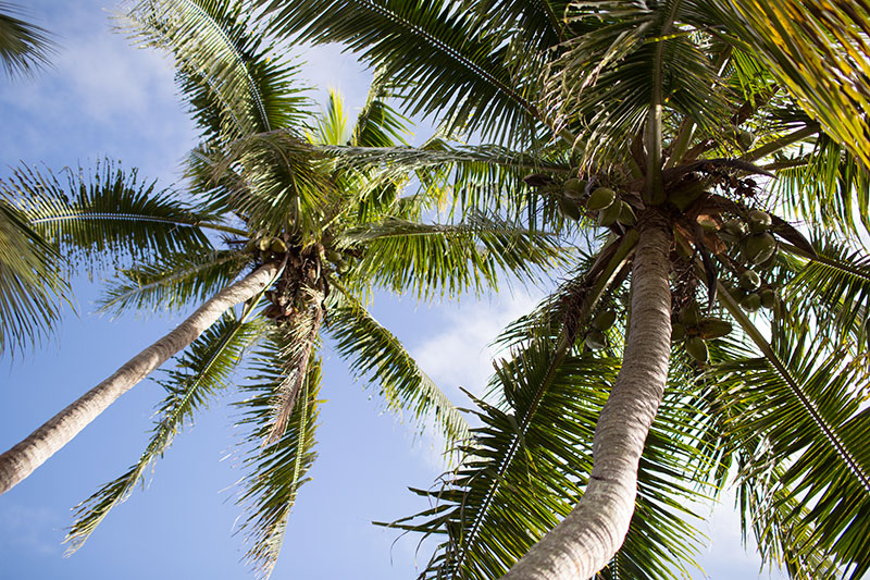 shesurfs.com.au - Mikala Wilbow - lifestyle photographer - fiji girls surf trip - Waidroka palm trees